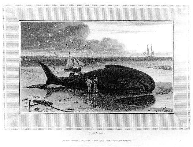 stranded-pilot-whale-print.jpg